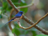 Chinese Blue-Flycatcher - male - profile - 2012