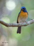 Chinese Blue-Flycatcher - male - front view - 2012
