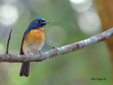 Chinese Blue-Flycatcher - male - 2012