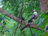 Crested Serpent Eagle - juvenile - 2011 - 3-