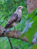 Crested Serpent Eagle - juvenile - 2011 - 2