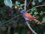 Asian Paradise-Flycatcher - female - red morph - 2012 - 2
