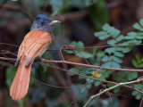 Asian Paradise-Flycatcher - female - red morph - 2012
