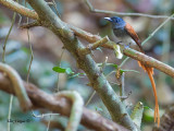 Asian Paradise-Flycatcher - male - red morph - 2012