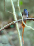 Asian Paradise-Flycatcher - male - red morph - 2012 - 3