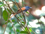 Asian Paradise-Flycatcher - male - red morph - 2012 - 2