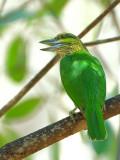 Green-eared Barbet 1 - back view