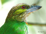 Green-eared Barbet -- sp 29