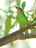 Green-eared Barbet - looking up