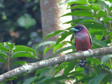 Banded Broadbill -- sp 30