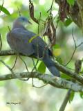 Mountain Imperial Pigeon - 3
