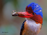 Banded Kingfisher -- sp 356