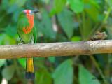 Red-bearded Bee-eater - 2012 - 4