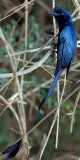 Greater Racket-tailed Drongo - adult - 2012