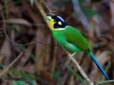 Long-tailed Broadbill - 2012 - 3