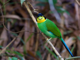 Long-tailed Broadbill -- sp 231