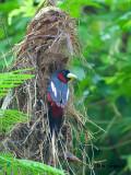 Black-and-Red Broadbill - 2012 - 4