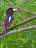 Black-and-Red Broadbill - 2012 - 3