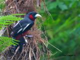 Black-and-Red Broadbill - 2012 - 2