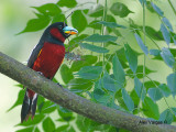 Black-and-Red Broadbill -- sp 238