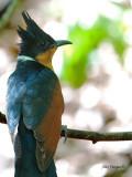 Chestnut-winged Cuckoo - portrait - 2