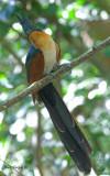 Chestnut-winged Cuckoo - 2