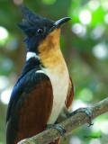 Chestnut-winged Cuckoo - portrait - 1
