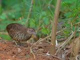 Barred Buttonquail - male - 2
