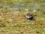 Pheasant-tailed Jacana - breed - 2012 - looking back