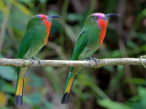 Red-bearded Bee-eater - 2012 - pair