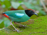 Hooded Pitta -- sp 222