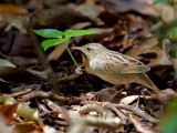 Lanceolated Warbler - 2