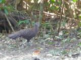Grey Peacock-Pheasant - female - 3