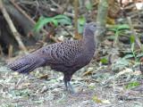 Grey Peacock-Pheasant - female