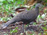 Grey Peacock-Pheasant - female - 2