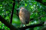 Malayan Night-Heron -- sp 174