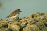 Long-toed Stint molting - sp 179