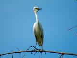 Intermediate Egret -- sp 175