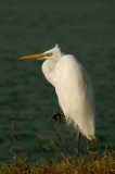 Great Egret -- non breed - 2008