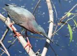 Green Heron at Paradise Pond