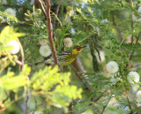 Cape May Warbler at Packery Channel