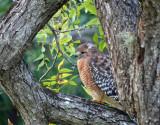 Red-shouldered Hawk, Landa Park