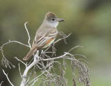 Ash-throated Flycatcher at Wilson's Ranch