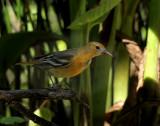 Baltimore Oriole,  Warbler Woods