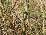 Lincoln's Sparrow,  Warbler Woods