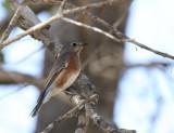 Eastern Bluebird, Salineno