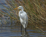 Great Egret, South Padre Island