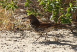Long-billed Thrasher,  Falcon State Park
