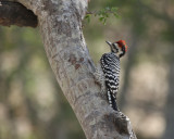Ladderback Woodpecker at Falcon Park