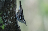 Black and White Warbler, Paradise Pond